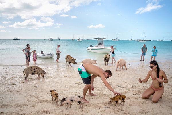 isla de los cerdos cayo bay