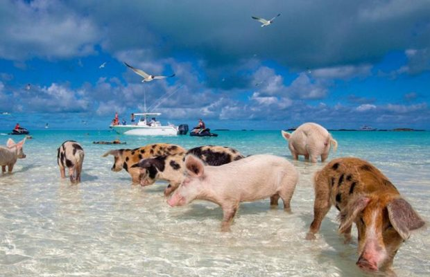 isla de los cerdos exuma